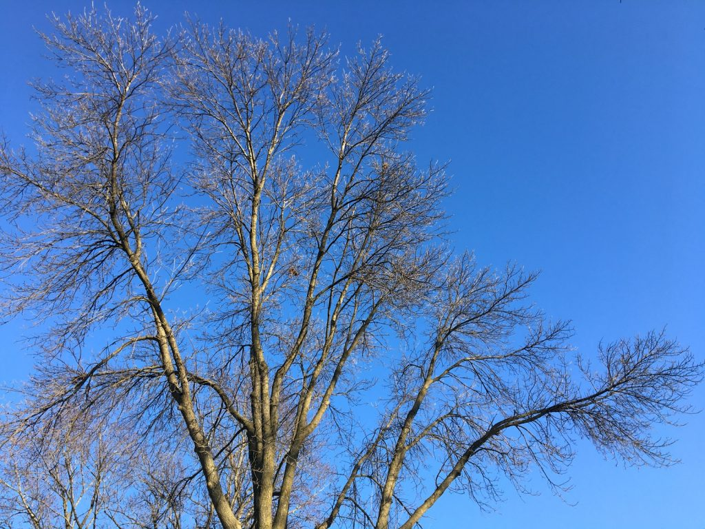 Looking up at a sidelit, bare, maple tree in front of a clear blue sky