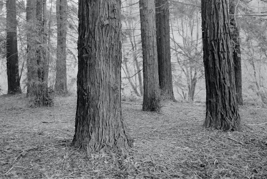 Black and white Redwood tree grove